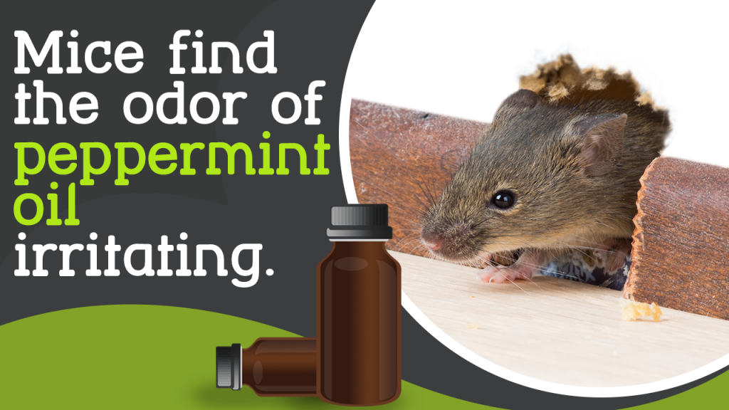 Getting Rid Of Rats With Peppermint Oil Quick Tips