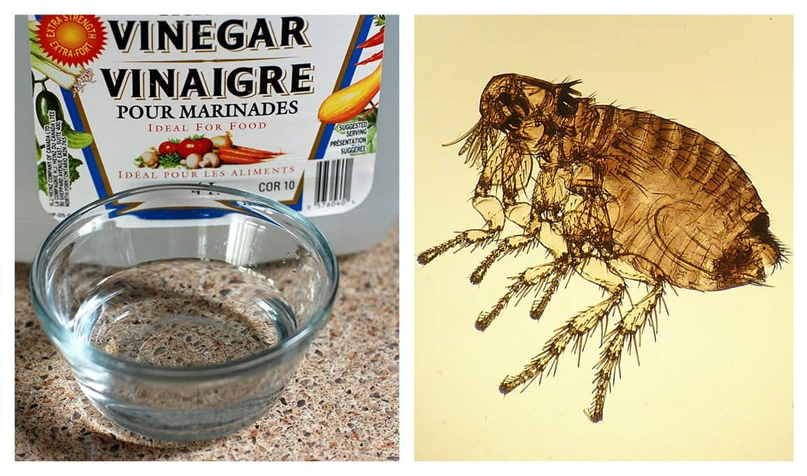 Does Vinegar Kill Fleas How to Get Rid of Fleas Naturally
