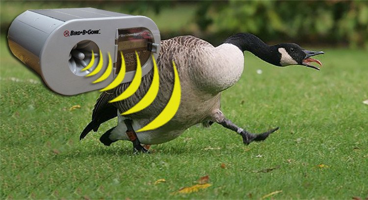 How to Get Rid of Geese from Your Property | Quick Tips